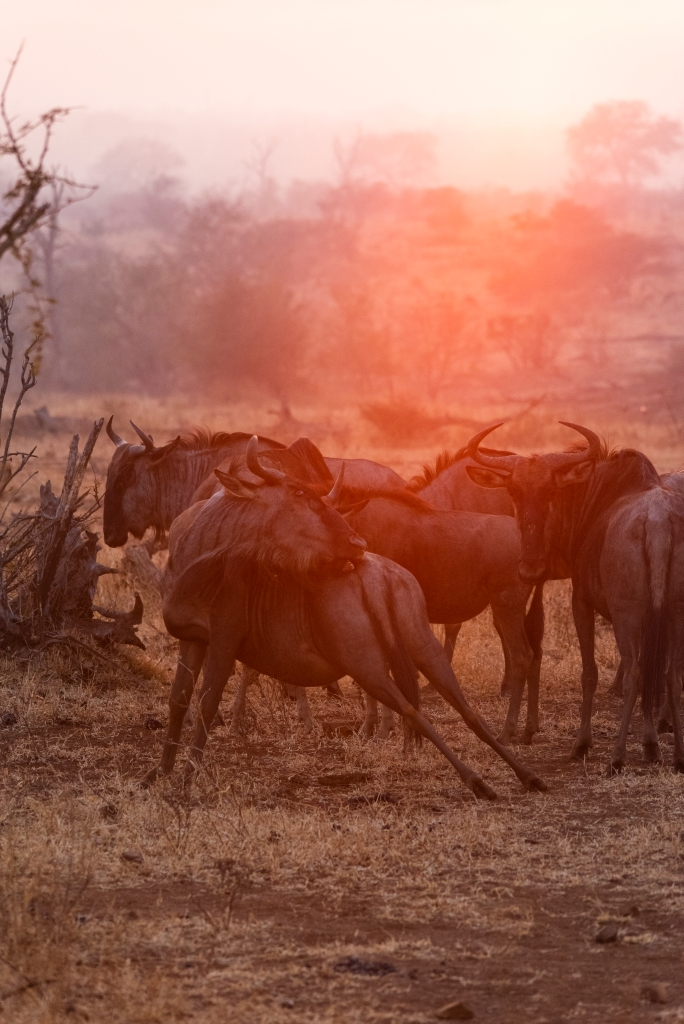 wildebeest south africa