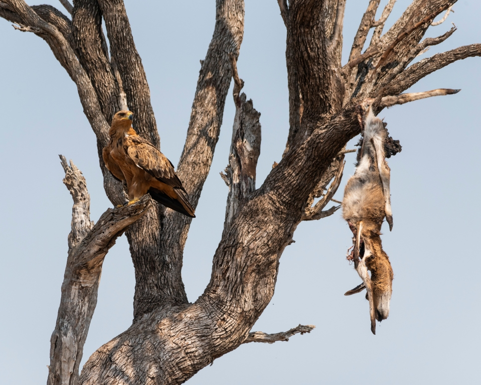 tawny eagle south africa
