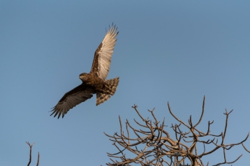 brown snake eagle south africa