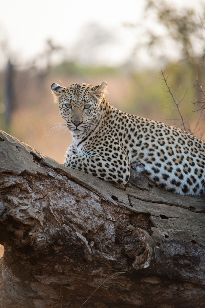 leopard south africa
